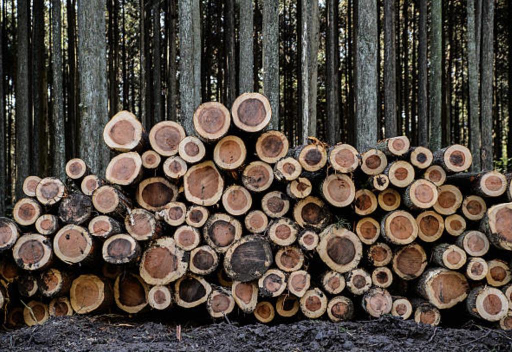 間伐した杉の木